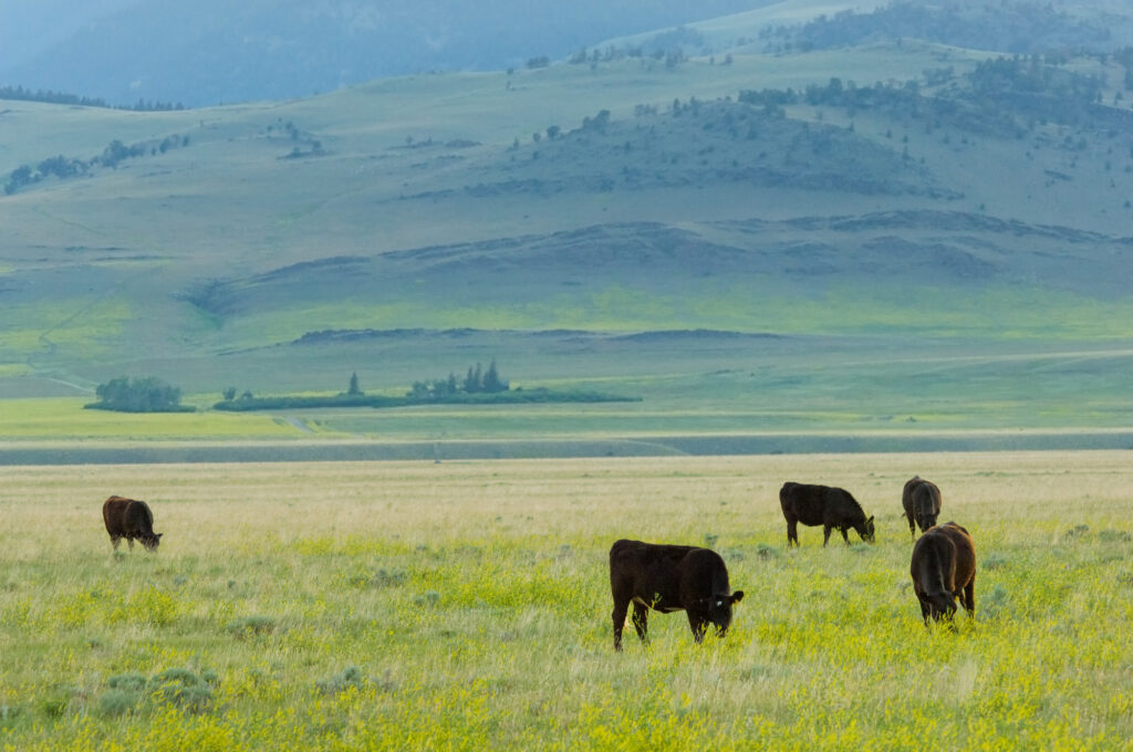 Want to learn more about Hereford cattle? We've listed some interesting facts about certified Hereford beef and where you can find it in stores.